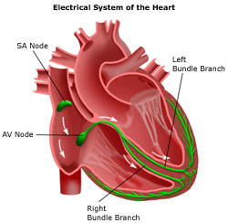 Heart electrical conduction system
